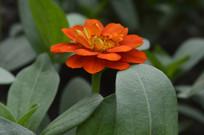 橙红色百日草
