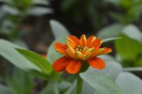 橙红色百日菊花朵