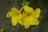 大花软枝黄蝉花瓣