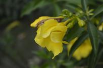 大花软枝黄蝉拍摄图