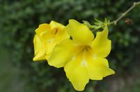 大花软枝黄蝉特写图