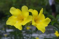 大花软枝黄蝉图片