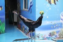 海狮顶球在台阶上表演