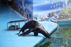 海狮探头要下水