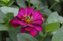 绯红色百日菊