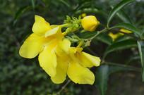 两朵大花软枝黄蝉