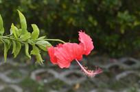 美丽的扶桑花