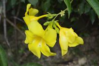 三朵大花软枝黄蝉