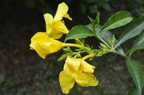 三朵漂亮的黄莺花