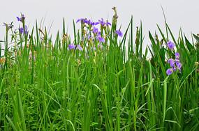 湿地鸢尾花