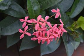 洋红色龙船花花朵