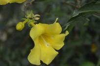 一朵大花软枝黄蝉