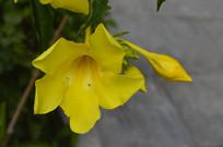 一朵漂亮的大花软枝黄蝉