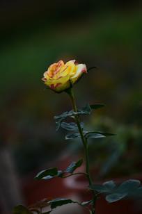 一枝含苞的玫瑰花