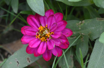 重瓣百日菊