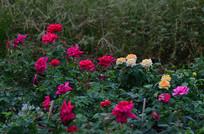 草丛中的月季花花卉图片