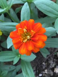 橙红色疏花百日菊