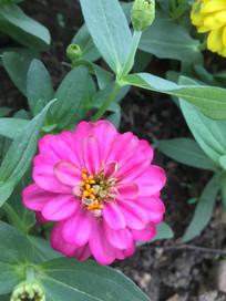 红色疏花百日菊