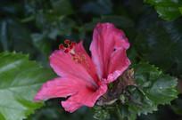 红艳艳的扶桑花