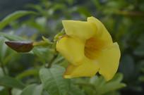 黄兰蝉花朵