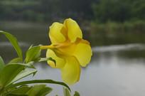 黄兰蝉摄影图片