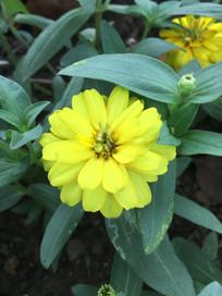 黄色疏花百日菊花朵