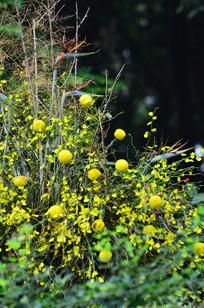 黄色跳舞兰小花图片