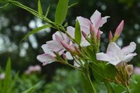 夹竹桃花朵图片