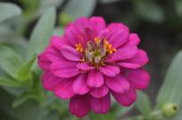 玫瑰红色百日菊