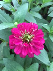 玫瑰红疏花百日菊