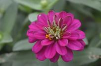玫红色百日菊