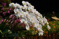 美丽的白色蝴蝶兰