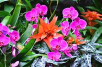 美丽的蝴蝶兰风景