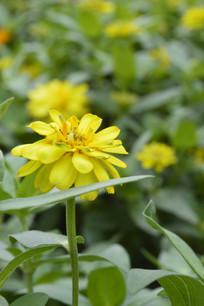 盛开的黄色百日菊