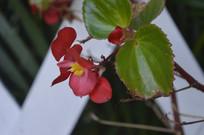 盛开的四季海棠