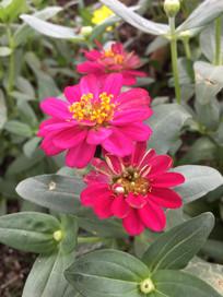 疏花百日菊