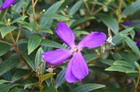 五片花瓣的艳紫野牡丹