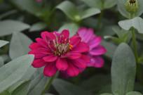鲜艳美丽的百日菊