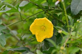 一朵南瓜花