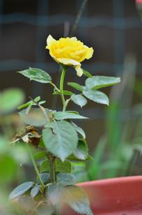 一枝黄色月季花