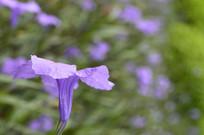 紫色花朵翠芦莉兰花草图片