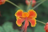 凤凰花花瓣