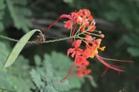 凤凰花花朵与荚果