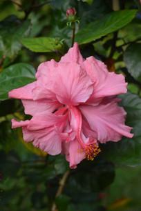 粉红色重瓣扶桑花