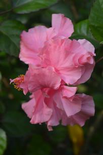 粉红重瓣扶桑花