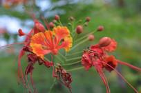 观花植物凤凰花