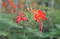 观赏花卉植物凤凰花