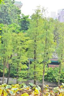 荷花池里的水杉树木风景图片