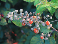 可食用的悬钩子果实