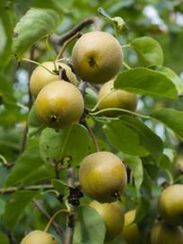 梨子的生长过程